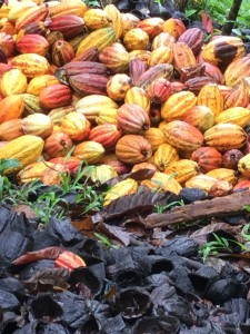 Harvested cocoa pods